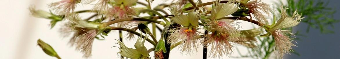 Видовые пеларгонии - дикие и необычные